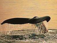 Evening Whale Quest